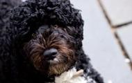 Помер собака Обами на прізвисько Бо