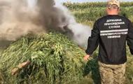 На Луганщине уничтожили 20 тысяч кустов конопли