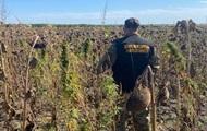 У полі соняшників копи виявили плантацію конопель