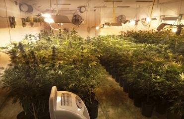 В Киевской области у двух мужчин изъяли 500 кустов марихуаны