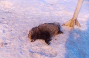 Бешеный енот сорвал работу пропускного пункта на границе с РФ