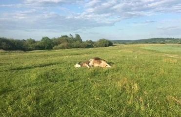 Информация о массовом отравлении коров в Прикарпатье не подтвердилась - РГА