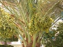 Биологи вырастили пальму из 2000-летней косточки