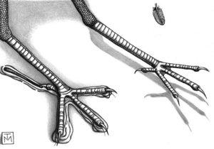 Новини науки - палеонтологія: На австралійському узбережжі знайдено найдавніші сліди пернатих крейдяного періоду