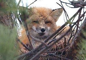 В Канаде лис поселился в вороньем гнезде