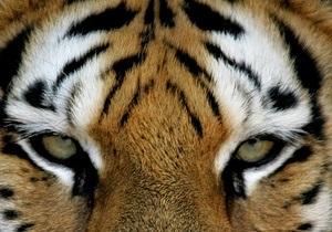 В Грузии тигр напал на человека