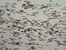 Орнитологи: Перелетные птицы понимают язык аборигенов