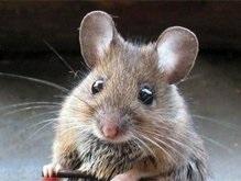 Модифицированные мыши помогут вылечить астму у людей