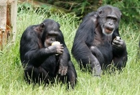 30 обезьян сбежали из английского зоопарка