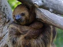Ученые: Ленивцы не такие ленивые, как считается