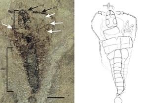 Ученые нашли древнейшее крылатое насекомое