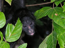 Эксперты: Половина видов приматов находится на грани вымирания