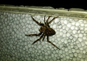 Лишившиеся половых органов пауки становятся выносливее