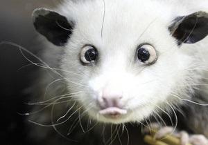 Косоглазый опоссум Хайди стала звездой Лейпцигского зоопарка