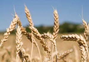 Слаута не намерен ограничивать экспорт зерна вопреки поручению Януковича