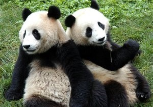 Китай сдал в аренду двух панд за миллион долларов