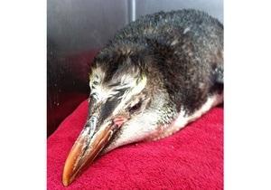 В Новой Зеландии скончался пингвин, оказавшийся в тысяче километров от родного острова
