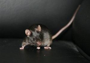 Американские ученые вырастили крыс с человеческим мозгом