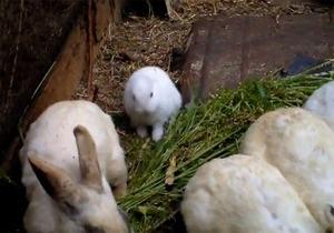 В Японии в 30-ти километрах от Фукусимы родился безухий кролик