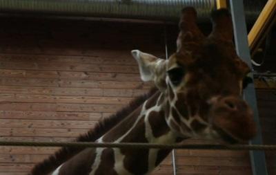 В Дании тысячи человек призывают спасти жизнь жирафу