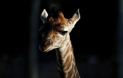 В датском зоопарке уверяют, что не планируют убивать жирафа