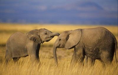 Слоны способны различать языки – ученые