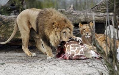 Убивший жирафа зоопарк в Дании усыпил четырех львов