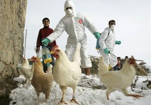 Птичий грипп: В Мескике уничтожили более двух миллионов кур