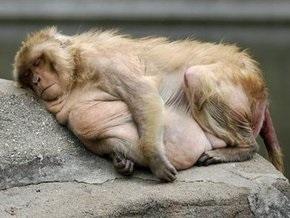 В японском зоопарке макак лечат от ожирения