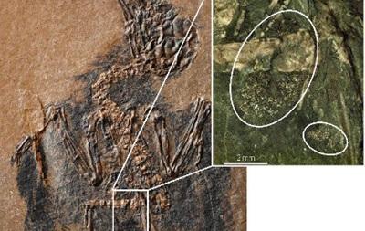 Палеонтологи обнаружили древнейшую птицу-опылителя