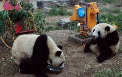 Милые предсказатели: Панды станут оракулами чемпионата мира в Бразилии