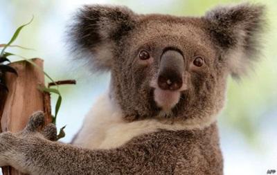 Ученые поняли, зачем коалы обнимают деревья
