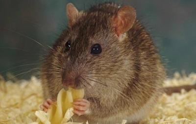 Крысы способны сожалеть о содеянном - ученые