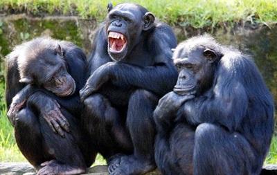 Ученые расшифровали язык жестов шимпанзе