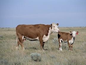 По истечении шести лет ученым удалось расшифровать геном коровы