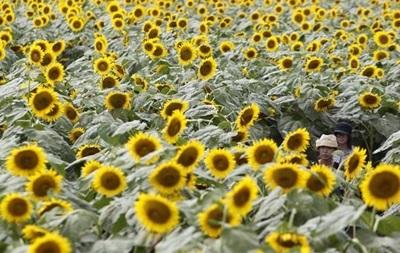 Аграрії скаржаться на навмисне заниження цін на соняшник