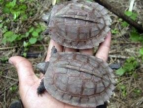 В Мьянме обнаружена черепаха, считавшаяся вымершей сто лет назад