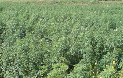 В Киеве нашли огромное поле конопли