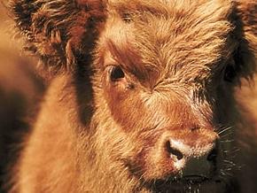 В крымском селе бык убил пастуха, не пустившего его к коровам