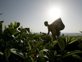 Цена на чай в мире достигла исторического максимума
