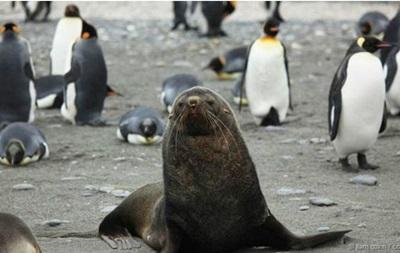 Наукове відкриття: як морські котики ґвалтують пінгвінів