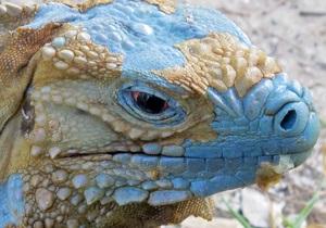 На Каймановых островах численность голубой игуаны за десятилетие выросла в 75 раз
