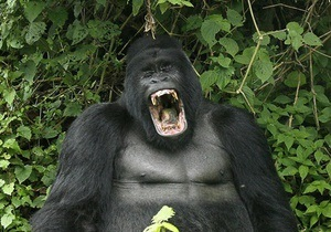 В Киевском зоопарке горилле подарили телевизор