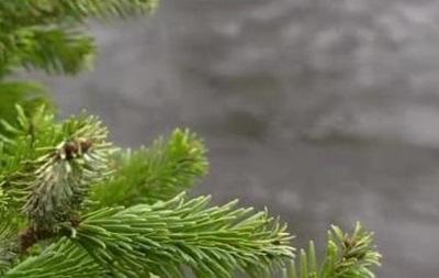 В Британии выброшенными елками укрепляют берега рек