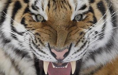 В России охотник выжил после нападения тигра