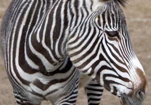 В Киевском зоопарке в результате несчастного случая погибла зебра