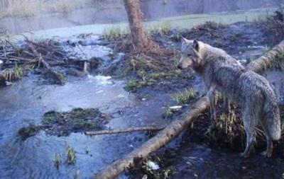 Лошади Пржевальского, лоси и медведи: репортаж о дикой природе Чернобыля