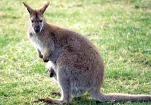 В Ирландии полиция ищет кенгуру, которого привели на дискотеку и накормили экстази