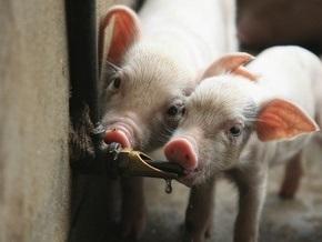 Американская свинья заболела свиным гриппом