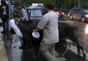 Россиянин привел корову на  гуляния  оппозиции в центре Москвы